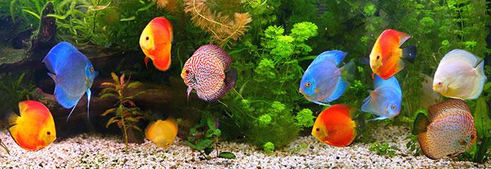 hồ cá đĩa thủy sinh