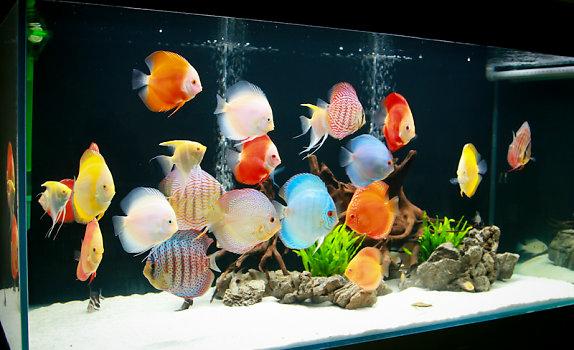 Hồ cá đĩa