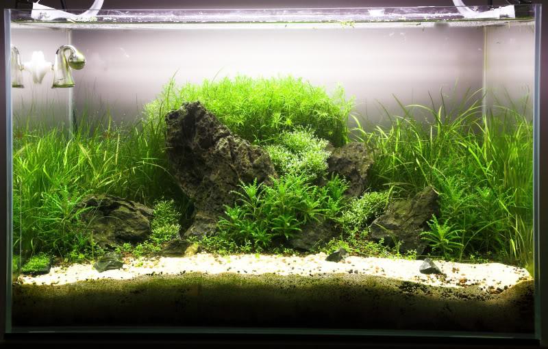 trồng rêu riccia hồ thủy sinh
