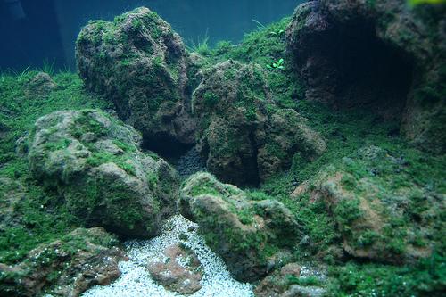 vào nước bể thủy sinh cấy rêu
