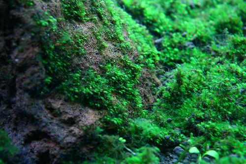 mini fiss mọc trên đá thủy sinh