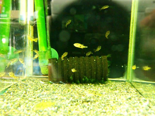 cá nóc ăn ốc