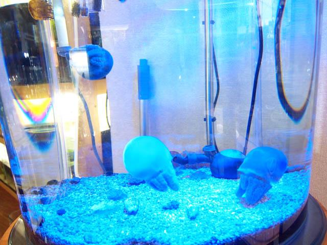 sứa cảnh