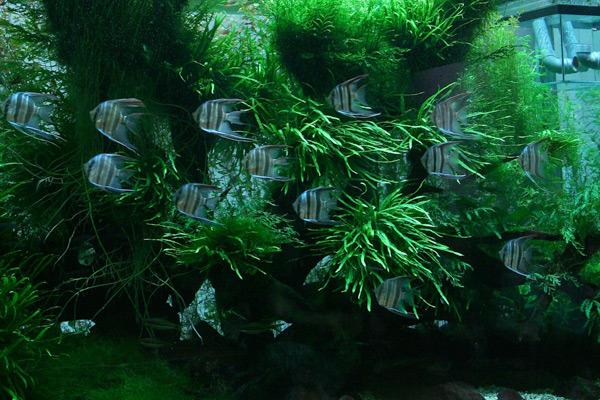 Cá thần tiên trong hồ thủy sinh tại gia của ông Takashi Amano