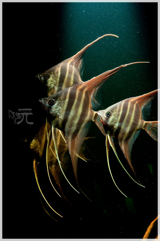 Hình ảnh cá thần tiên theo đàn