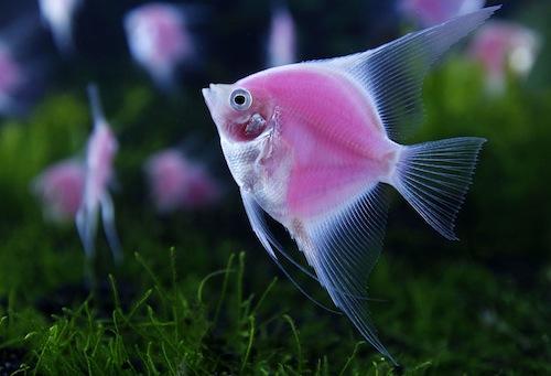 cá ông tiên màu hồng