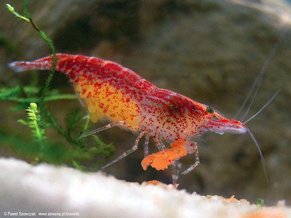 Tép đỏ - loài tép thủy sinh phổ biến nhất
