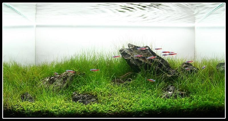 hồ thủy sinh phong cách iwagumi