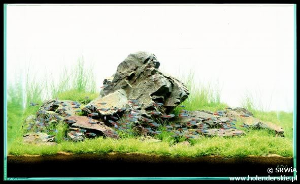 iwagumi style in aquatic planted tank