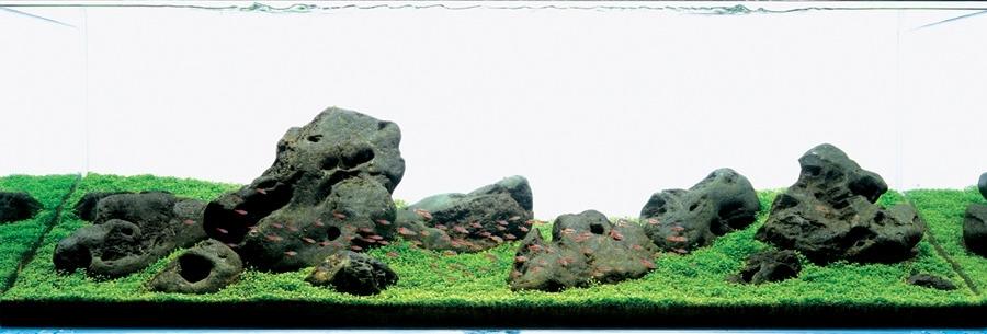 cây thủy sinh trong iwagumi