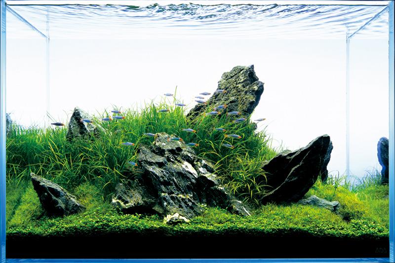 đàn cá bơi ngang qua điểm nhấn của bố cục iwagumi