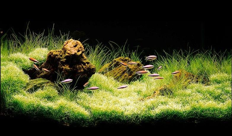 bể thủy sinh iwagumi 60cm năm 1993