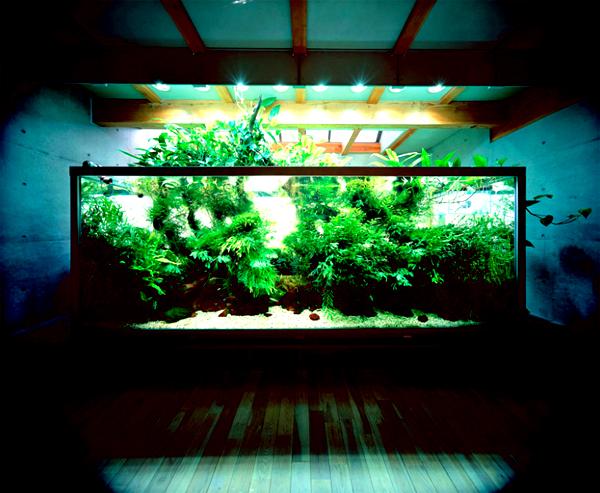 bể thủy sinh tại nhà Amano