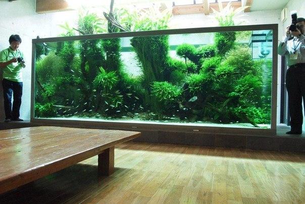 bể thủy sinh tại nhà Amano dương xỉ