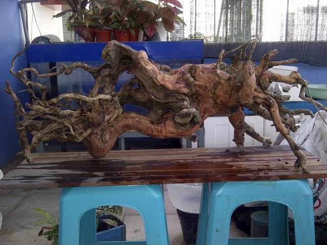 lũa bể thủy sinh indonesia
