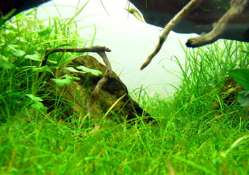 tép yamato trong bể thủy sinh