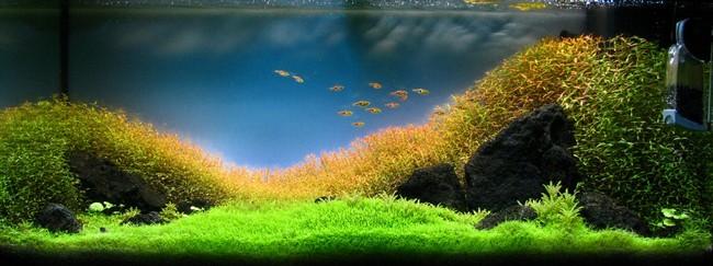 cỏ giấy thủy sinh mọc nhanh