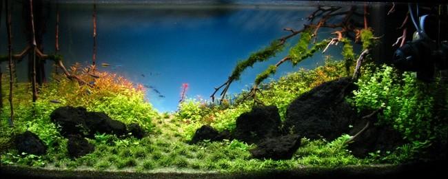 lũa trong bố cục hồ thủy sinh