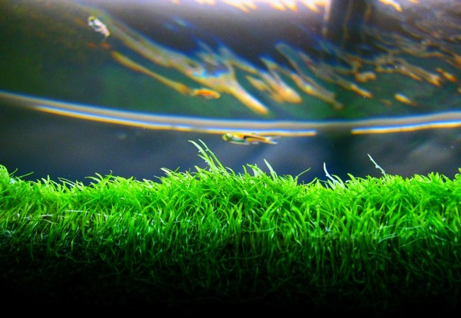 thảm cỏ giấy trong hồ thủy sinh