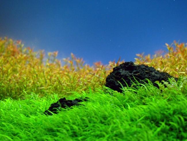 cỏ giấy và đá trong hồ thủy sinh