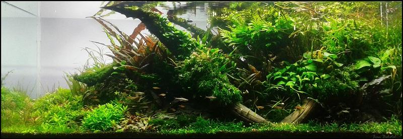 cây thủy sinh rau thơm tiền cảnh