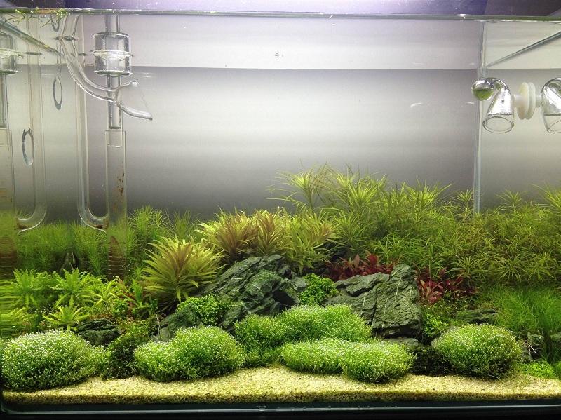 rêu ciccia trong bể thủy sinh