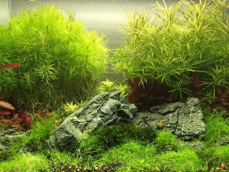 cây thủy sinh ngưu mao chiên trồng tiền cảnh