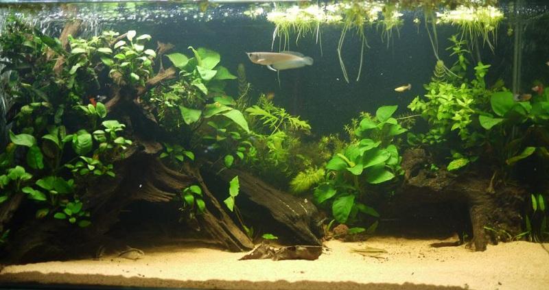 hồ cá rồng kết hợp thủy sinh đơn giản