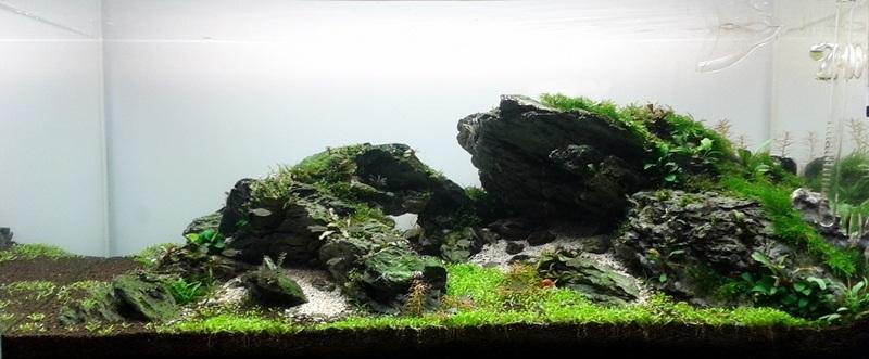 trồng bucep trong bể thủy sinh