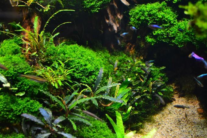 bể thủy sinh bucep và rêu