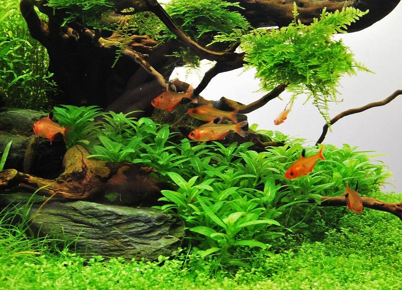 cây thủy sinh rau thơm trong bể thủy sinh