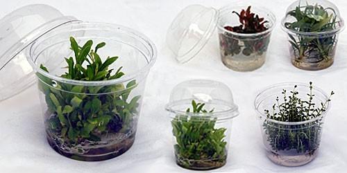 cây thủy sinh nuôi cấy mô Việt Nam