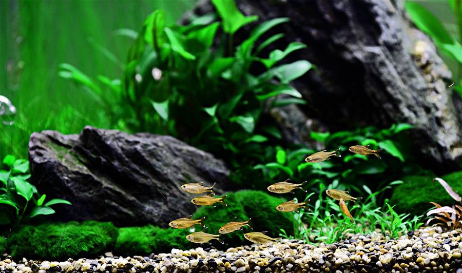 đàn cá nhỏ bể thủy sinh iwagumi hiện đại