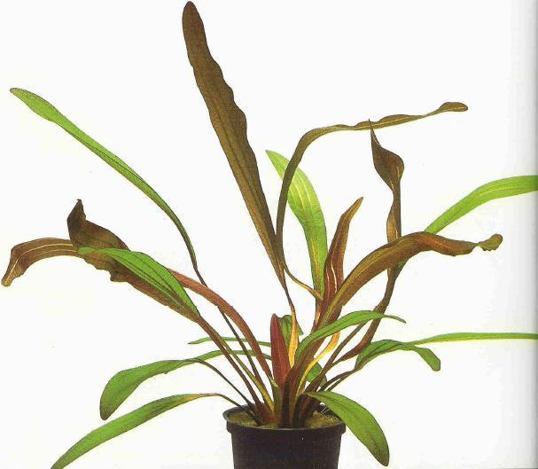 """cây thủy sinh Echinodorus """"Rubin"""" lá hẹp"""