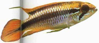 loài cá cảnh Apistogramma agassizi