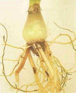 rễ cây Crinum thaianum