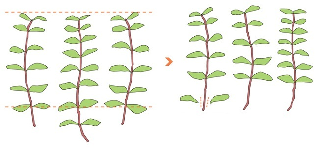 cắt tỉa lá cây cắt cắm thủy sinh