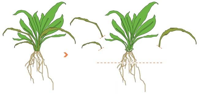 cắt bớt rễ cây thủy sinh tiêu thảo