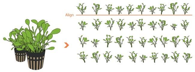 chia cây thủy sinh trân châu nhật thành bụi nhỏ
