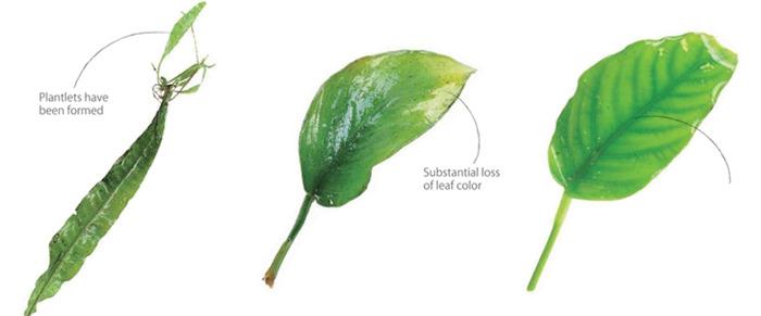 lá cây thủy sinh dương xỉ và ráy