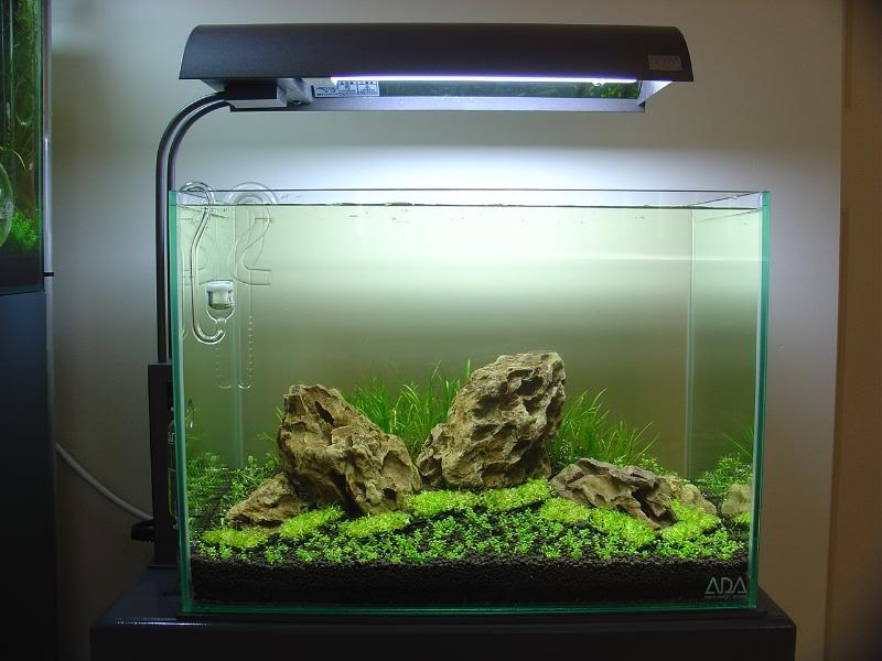 trồng cây thủy sinh iwagumi