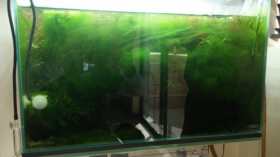 rêu hại bể thủy sinh