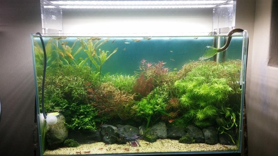 cắt tỉa bể thủy sinh 60cm trồng cây cắt cắm