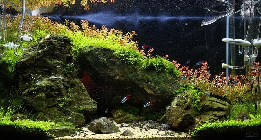 cây hậu cảnh màu đỏ trong hồ thủy sinh