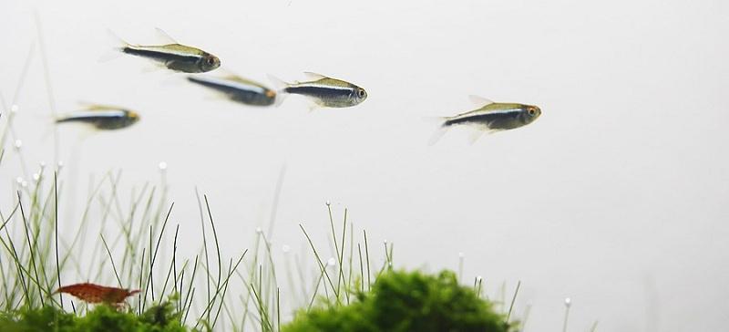 cá neon đen trong bể thủy sinh