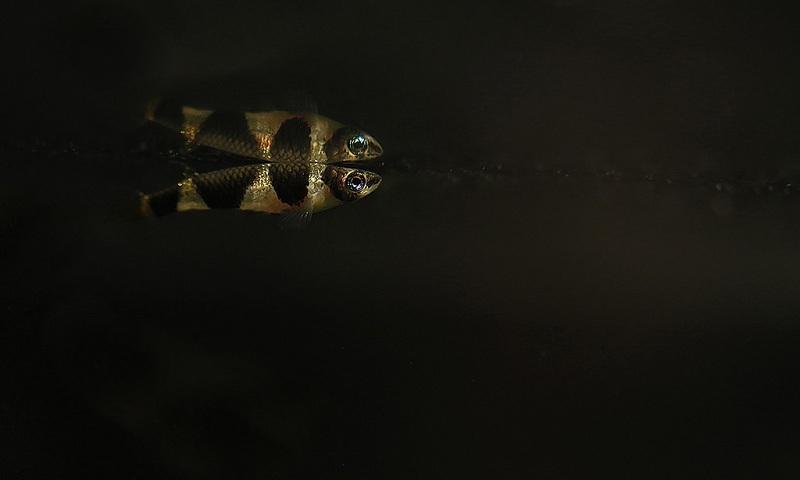 cá tối màu cho bể thủy sinh