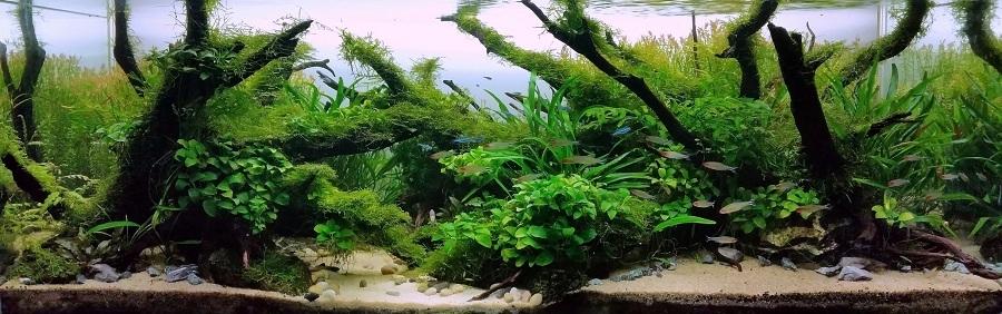 bố cục bể thủy sinh lũa rêu không cầu kỳ