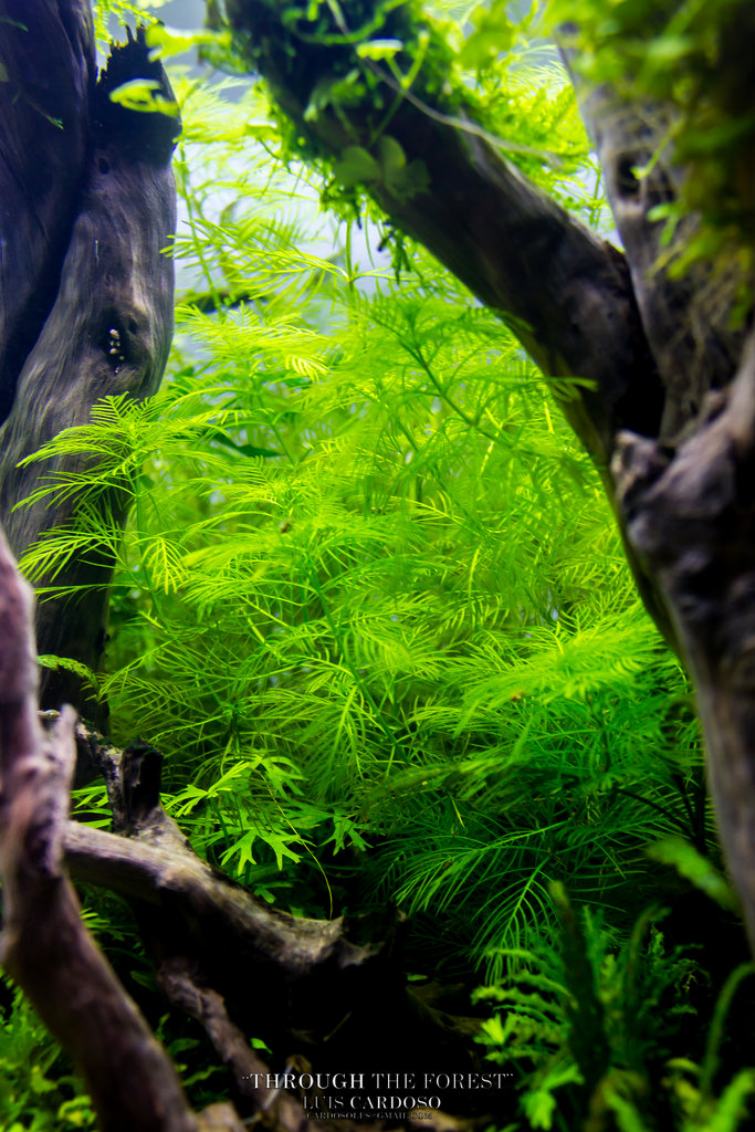 cây thủy sinh xương cá hậu cảnh