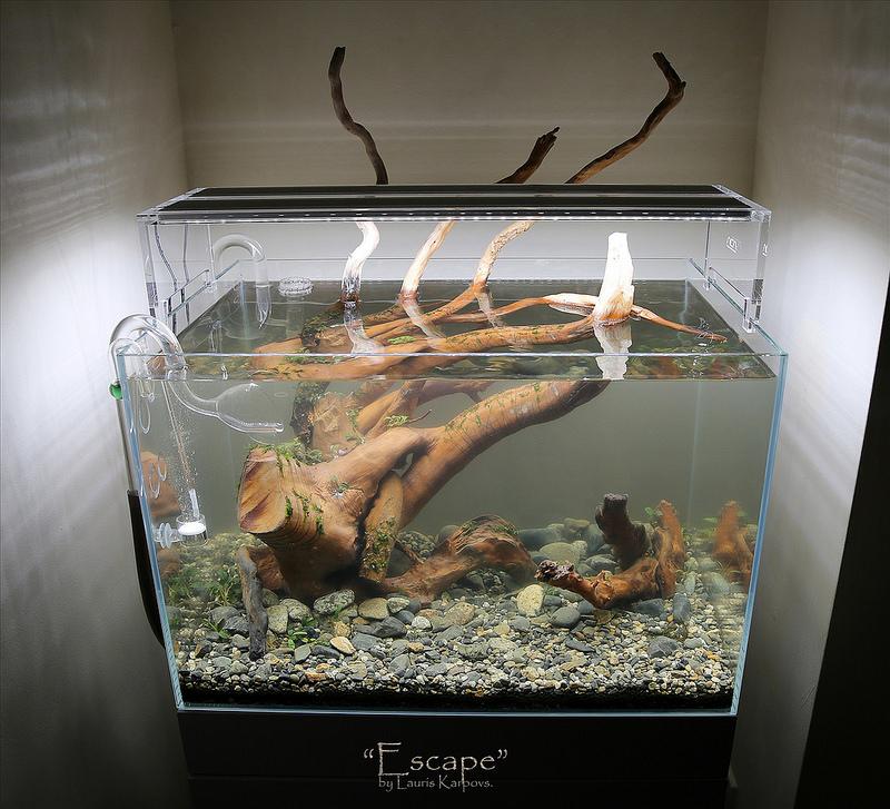 lũa buộc rêu riccia trong bể thủy sinh