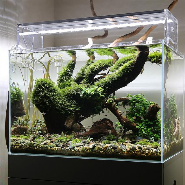 rêu riccia trong bể thủy sinh